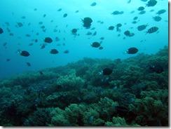 okinawa chikaba diving