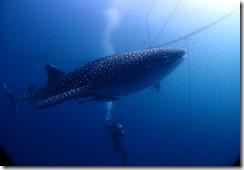 okinawa diving1098