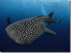 okinawa diving917