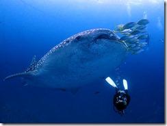 okinawa jinbeizame diving100