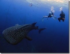 okinawa jinbeizame diving102