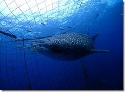 okinawa jinbeizame diving103