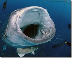 okinawa jinbeizame diving83