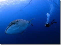 okinawa jinbeizame diving88