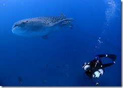 okinawa jinbeizame diving90