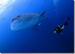 okinawa jinbeizame diving93