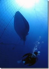 okinawa jinbeizame diving95