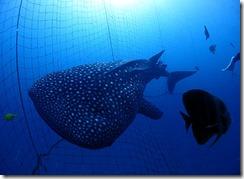okinawa jinbeizame diving99