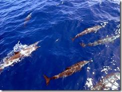 イルカの大群