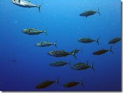 okinawa kerama diving1110