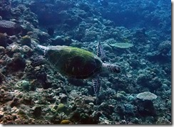 okinawa kerama diving1171