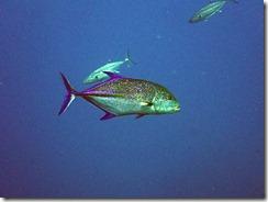okinawa kerama diving1191