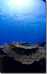 okinawa kerama diving1201