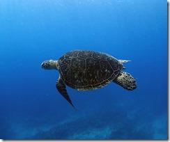 okinawa kerama diving1226
