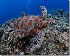 okinawa kerama diving991