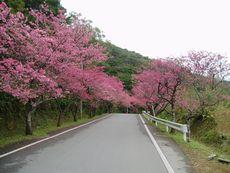 沖縄の桜「八重岳の桜祭り1」