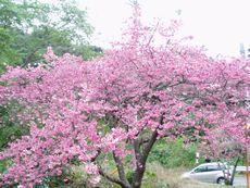沖縄の桜「八重岳の桜祭り2」