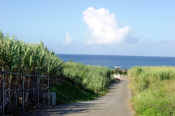 沖縄・さとうきび・夏の風景